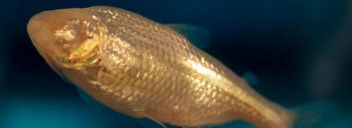 Chromosome supplémentaire et détermination du sexe des poissons de la grotte Pachón