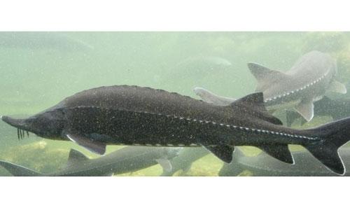 Le génome d'un poisson « ancien » séquencé