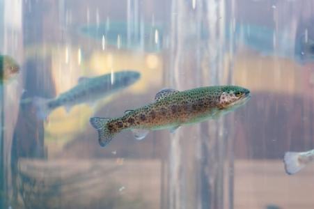 LPGP recrute un.e technicien.ne d'élevage en expérimentation poissons
