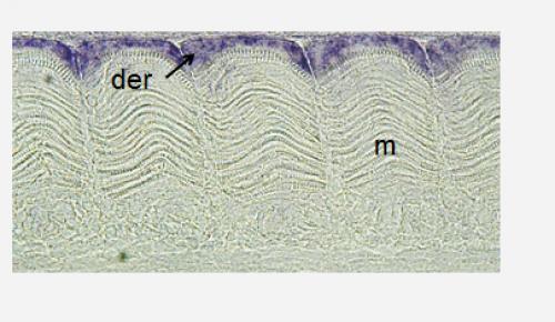 Coupe frontale d'un embryon de truite tardif montrant l'expression du gène Pax7 dans les cellules du dermomyotome  (der). Le myotome  sous-jacent (m) est indiqué.