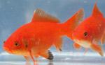 poisson_rouge