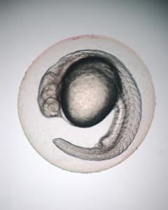 Embryon Zebrafish