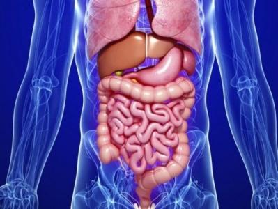 Simulateur de digestion : de l'œsophage à l'intestin