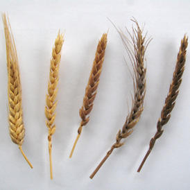 Diversité des blés de pays
