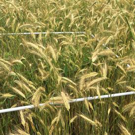 Quadrat dans un champ de blé