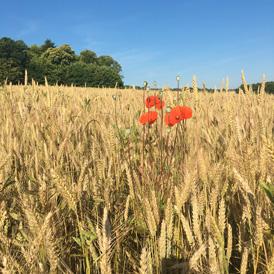 Coquelicot dans un champ de blé
