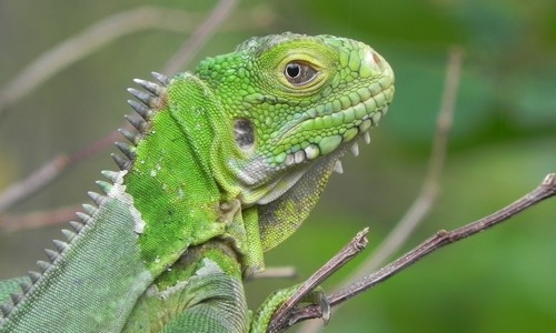 Iguana delicatissima Terre de Bas Petite Terre