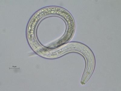 BIODERA bio-contrôle nématodes phytoparasites