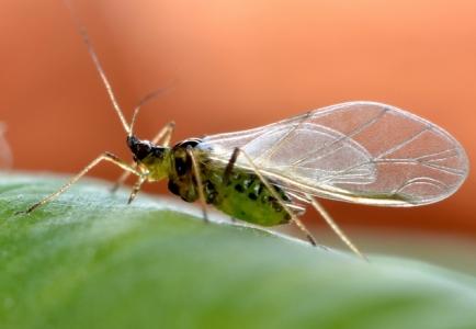 Femelle adulte ailée de Myzus persicae, puceron vert du Pêcher