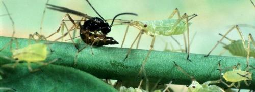 Génome guêpes parasitoïdes