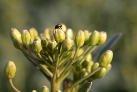 Méligèthe sur un bouton de fleur de colza