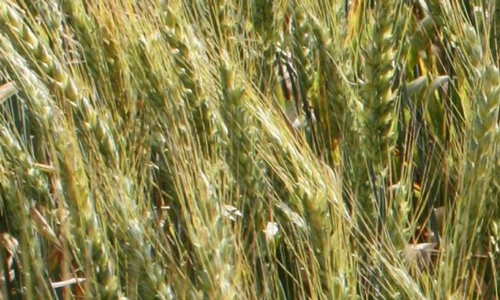 Origine blé tendre Renan
