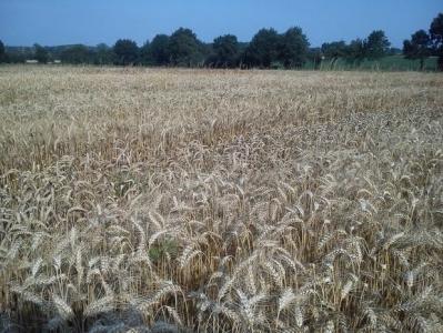 Trois nouvelles variétés de blé tendre d'hiver pour l'agriculture biologique