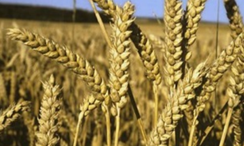 Visite des essais Inra sur le blé tendre biologique