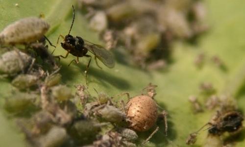 Une femelle parasitoïde Diaeretiella rapae s'apprête à pondre dans un puceron cendré du chou Brevicoryne brassicae. Au centre, un puceron parasité ou momie dorée.
