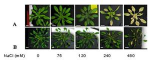Arabidopsis thaliana and Thellungiella salsuginea (halophila) under increasing salt treatments