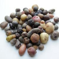 Espèce Solanum
