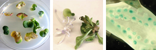 Production of rapeseed transgenic plants