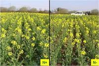 Winter rapeseed grown under two contrasted N regimes