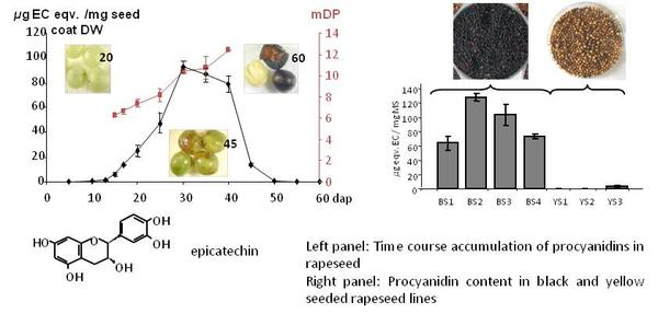 Left panel: Time course accumulation of procyanidins in rapeseed Right panel: Procyanidin content in black and yellow seeded rapeseed lines