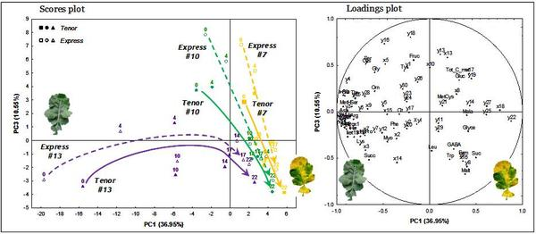 Metabolic  signature and profile evolution of old (# 7), intermediate (# 10) and young (# 13) leaves during vegatative growth of two oilseed rape genotypes