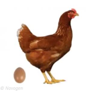 Sélectionner des poules pondeuses adaptées aux systèmes d'élevages alternatifs à la cage