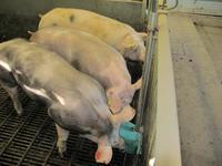 porc abreuvement