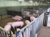 Porc logement