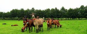 Paturage chèvre