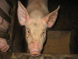 Tête cochon - thèse AC