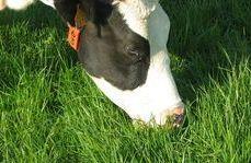 Vache paturant