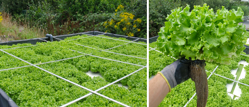 Lettuce production in aquaponic system