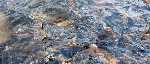 AEC trout strain selected on its ability to transform plant food