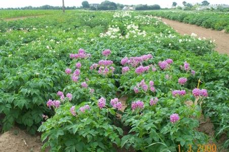 Champs de pomme de terre en fleurs
